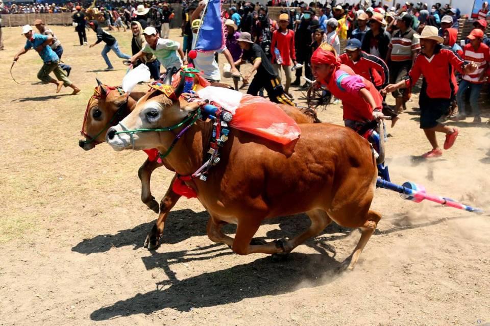 Karapan Sapi Madura: Tradisi atau Penyiksaan Hewan?