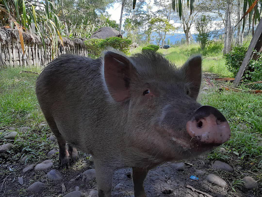 Hubungan Babi dan Suku-suku di Papua