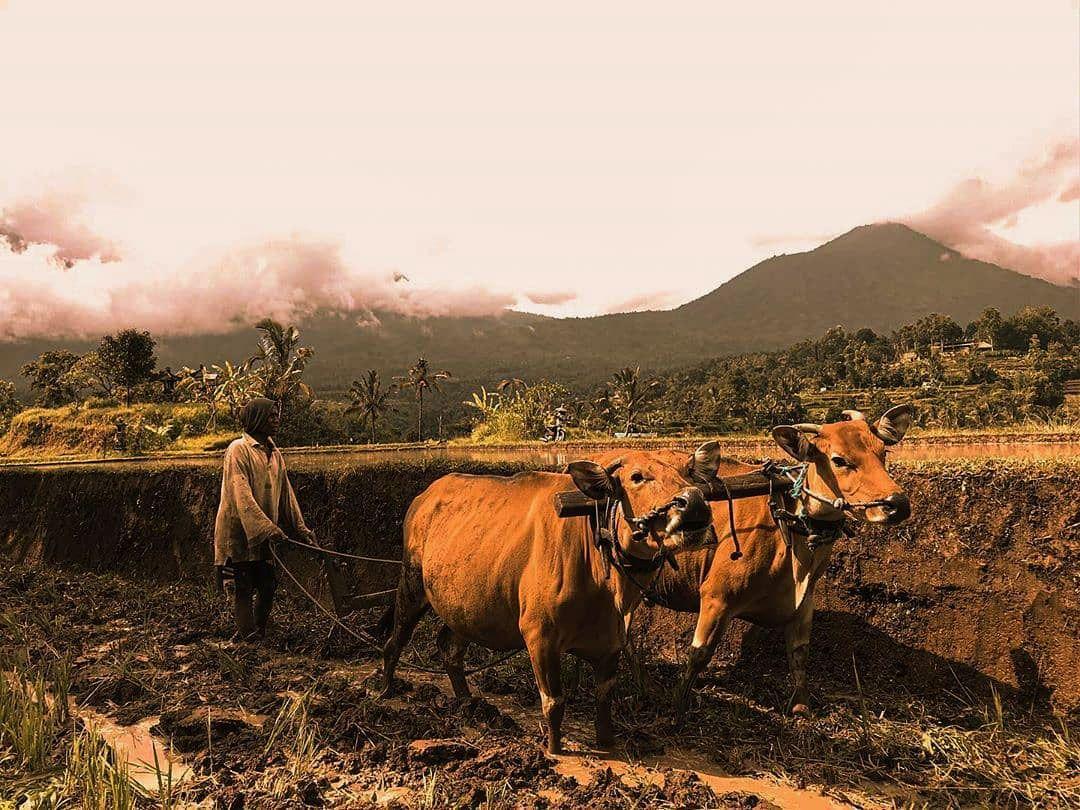 Pindekan dan Irama Kehidupan Petani Bali